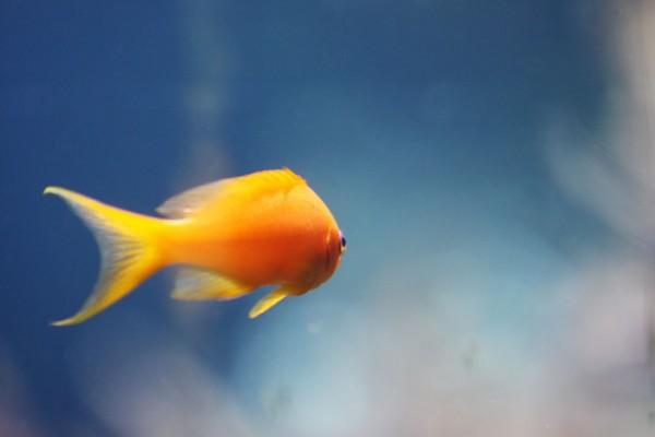 912125 - Macrocard goldfisch