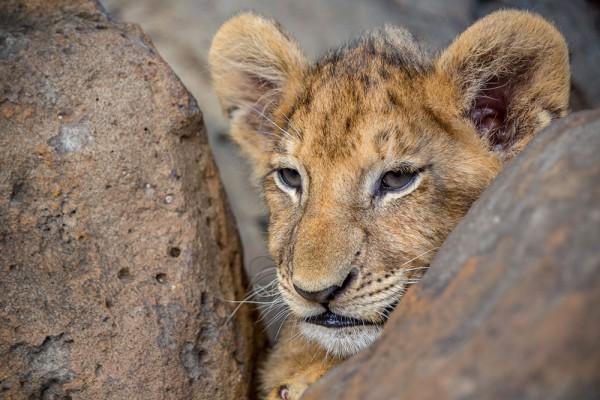 912210 - Macrocard lion