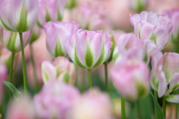 912192 - Macrocard tulpen