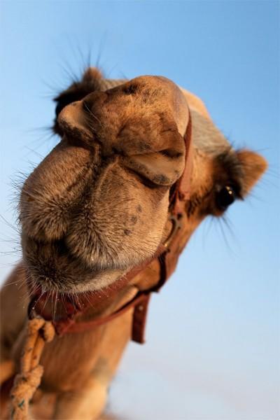 912145 - Macrocard camel
