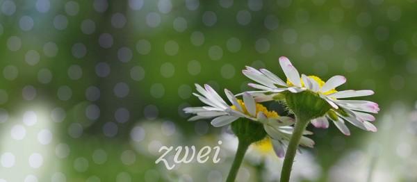 910617 - Windlichtkarte: Zwei (2 Gänseblümchen)