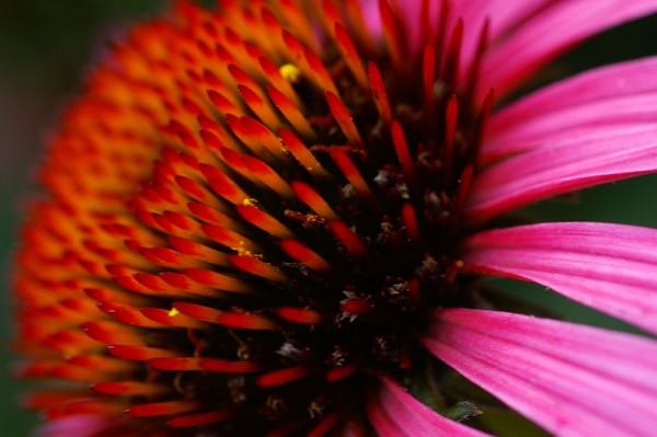 912062 - Macrocard echinacea